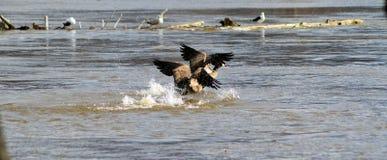 Combat d'oiseau Image libre de droits