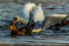Combat d'oiseaux Images libres de droits