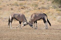 Combat d'oryx photographie stock