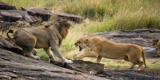 Combat dans la famille des lions Stationnement national kenya tanzania Masai Mara serengeti Images stock