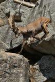 Combat de bouquetin dans le secteur de montagne rocheuse photo stock