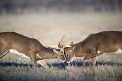 Combat de cerfs communs de Whitetail Image stock