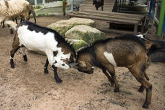 Combat de chèvre Photos libres de droits