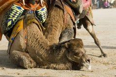 Combat de chameau Photo libre de droits
