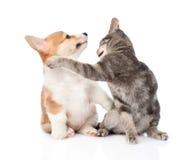 Combat de chat et de chien D'isolement sur le fond blanc Images stock