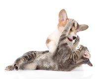 Combat de chat et de chien D'isolement sur le fond blanc Photographie stock libre de droits