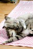 Combat de chatons Images libres de droits