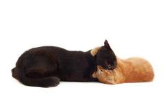 Combat de chats Photos libres de droits