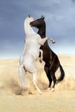 Combat de cheval d'Achal-teke Photos stock