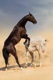 Combat de cheval dans le désert photo libre de droits