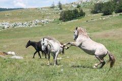 Combat de chevaux sauvages Photos libres de droits