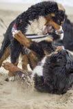 Combat de chien de montagne de Bernese image libre de droits