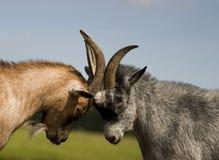 Combat de chèvre Photo libre de droits
