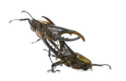 Combat de coléoptères de Hercule Image stock