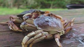 Combat de crabes de Dungeness banque de vidéos