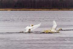 Combat de cygnes au lac photographie stock