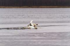 Combat de cygnes au lac images libres de droits