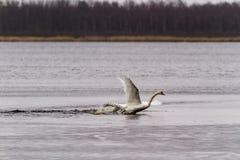 Combat de cygnes au lac photo libre de droits