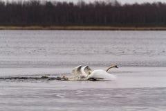 Combat de cygnes au lac images stock