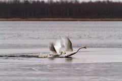 Combat de cygnes au lac image stock