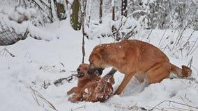 Combat de deux chiens pendant l'hiver sur la rue Chiots mignons de bête perdue de chien jouant l'animal familier dehors ensemble banque de vidéos