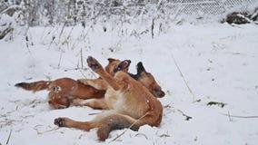 Combat de deux chiens pendant l'hiver sur la rue Chiots mignons de bête perdue de chien jouant dehors l'animal familier ensemble banque de vidéos
