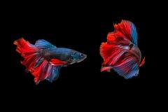 Combat de deux poissons d'isolement sur le fond noir photo stock