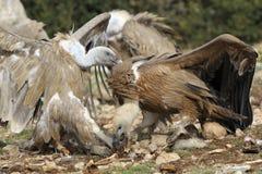 Combat de deux vautours de griffon Image stock