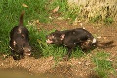 Combat de diables tasmaniens photos stock