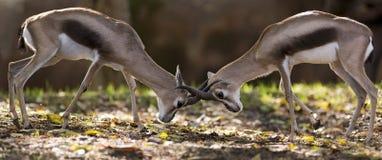 Combat de gazelle Photographie stock