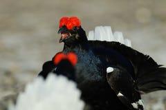 Combat de grouse noire photographie stock