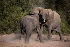 Combat de jeu d'éléphants photo stock