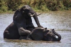 Combat de jeu d'éléphants Photographie stock
