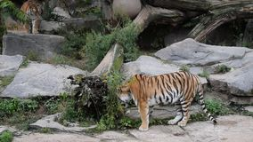 Combat de jeu de deux tigres dans la clôture de zoo banque de vidéos