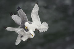 Combat de Kittiwakes Photographie stock