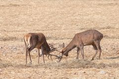 Combat de mâles de cerfs communs rouges images libres de droits
