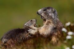 Combat de marmottes Photos libres de droits