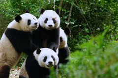 Combat de panda pour une pomme Photos stock