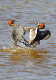 Combat de petit Grebe Photos stock