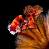 Combat de poissons de Betta dans l'aquarium photographie stock