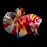 Combat de poissons de Betta dans l'aquarium photo stock