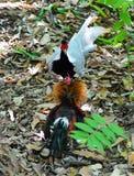 Combat de poulet Image libre de droits