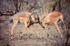 Combat de RAM d'impala Photos libres de droits