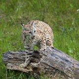 Combat de rufus de lynx de chat sauvage Photographie stock