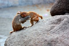 Combat de singes Photographie stock libre de droits