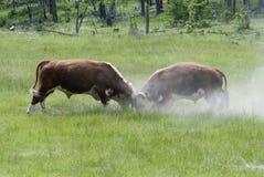 Combat de taureaux Images stock