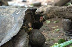 Combat de tortue géante, Galapagos photographie stock libre de droits