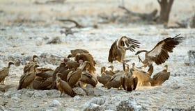 Combat de vautours Images libres de droits