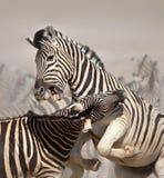 Combat de zèbres Image libre de droits