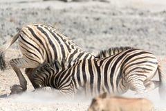Combat de zèbres Photographie stock libre de droits